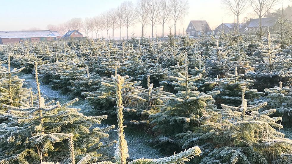 Kerstbomen op de Decemberhoeve